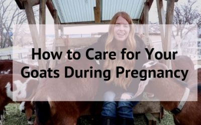 Goat Pregnancy Care