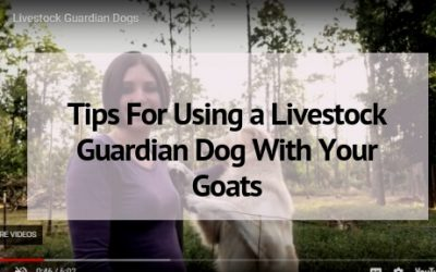Tips For Using a Livestock Guardian Dog With Your Goats