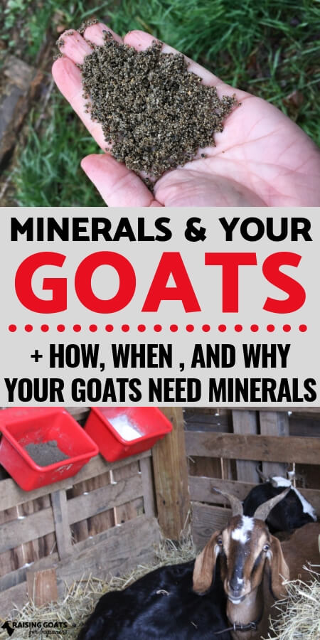 Raising Goats for Beginners: Nutrition is so important to your goats health and minerals play an important part in keeping them healthy. Learn everything you need to know about minerals and your goats.