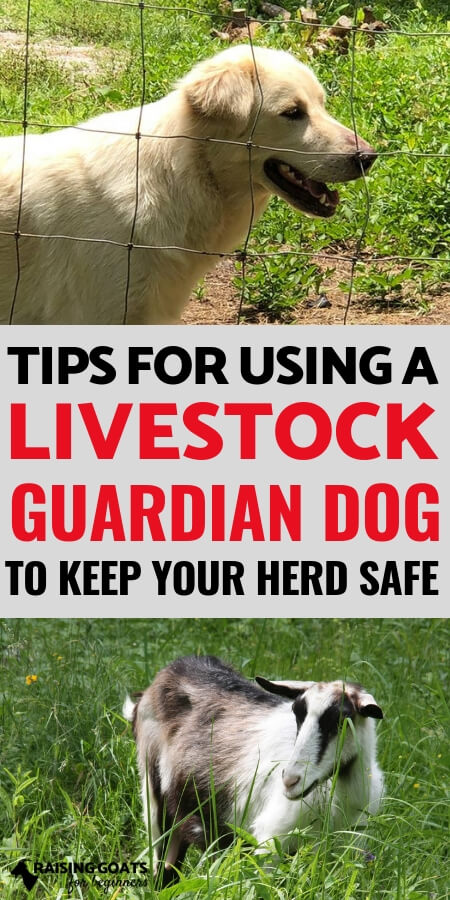 Raising Goat: Livestock guardian dogs are a great way to protect your goats from predators! Find out tips for choosing and having a livestock guardian on your homestead!
