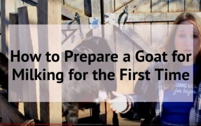 How to Prepare a Goat for Milking for the First Time