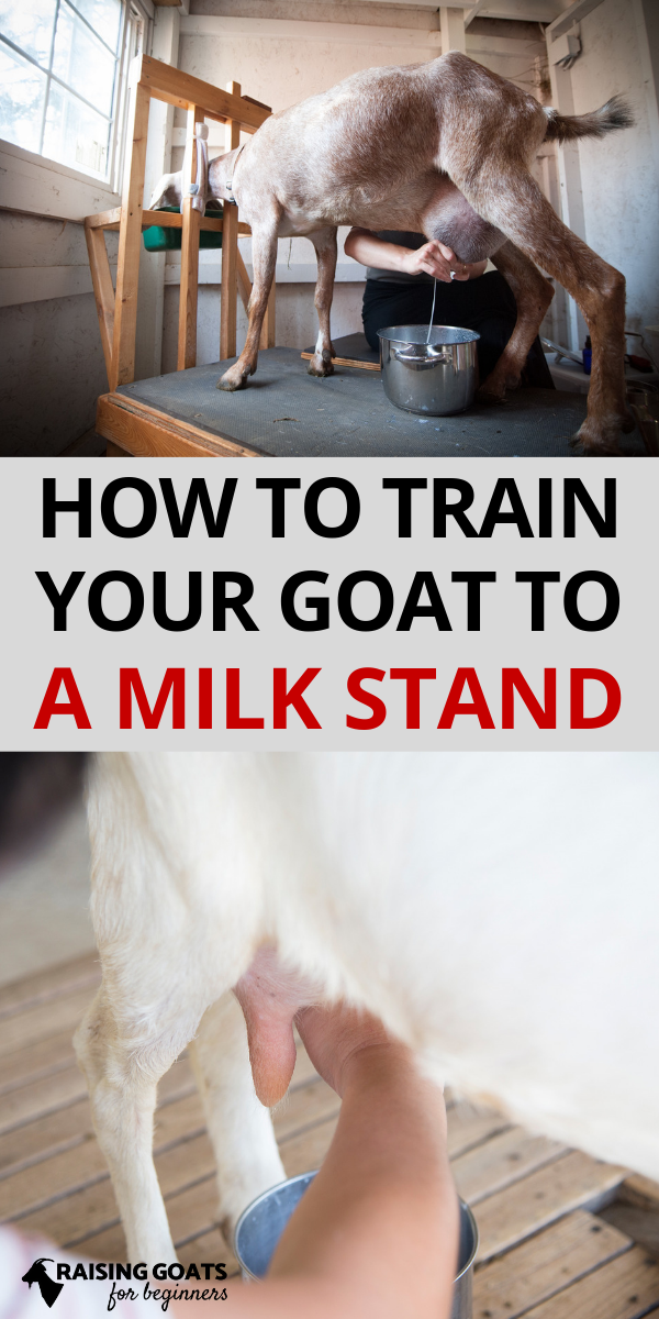 How to Train a Goat To a Milk Stand