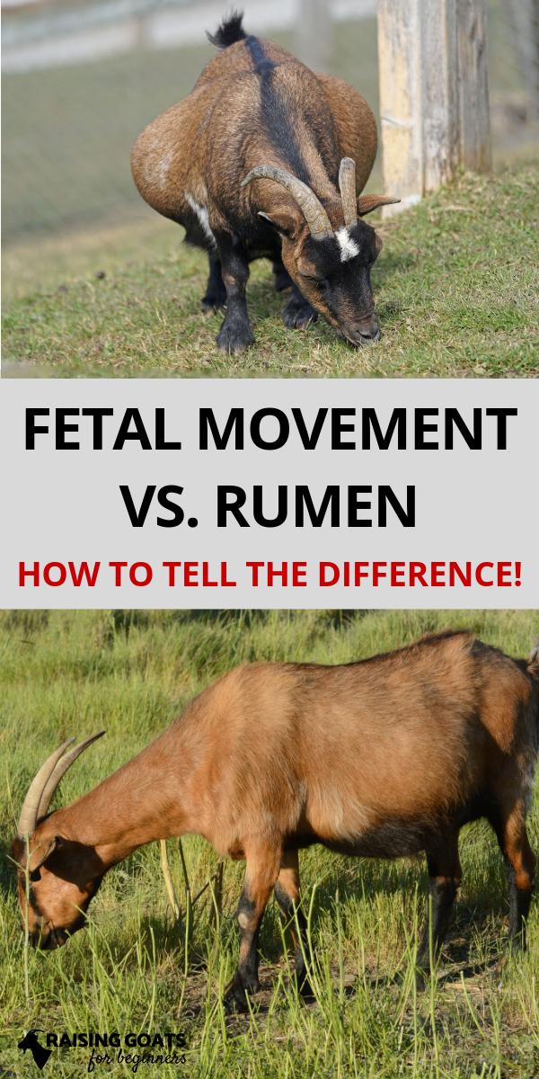 Goat Fetal Movement Vs. Rumen