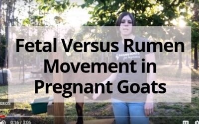 Fetal Versus Rumen Movement in Pregnant Goats