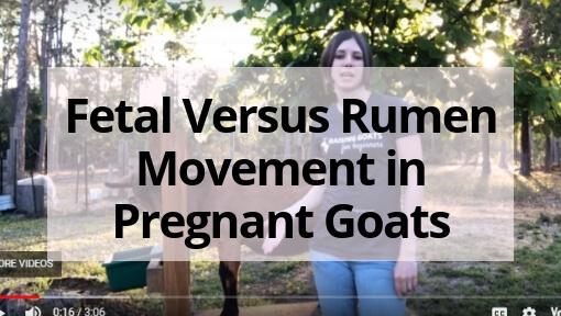 Fetal Versus Rumen Movement in Pregnant Goats