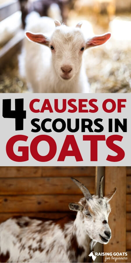 Top 4 Causes of Scours in Goats | Raising Goats for Beginners